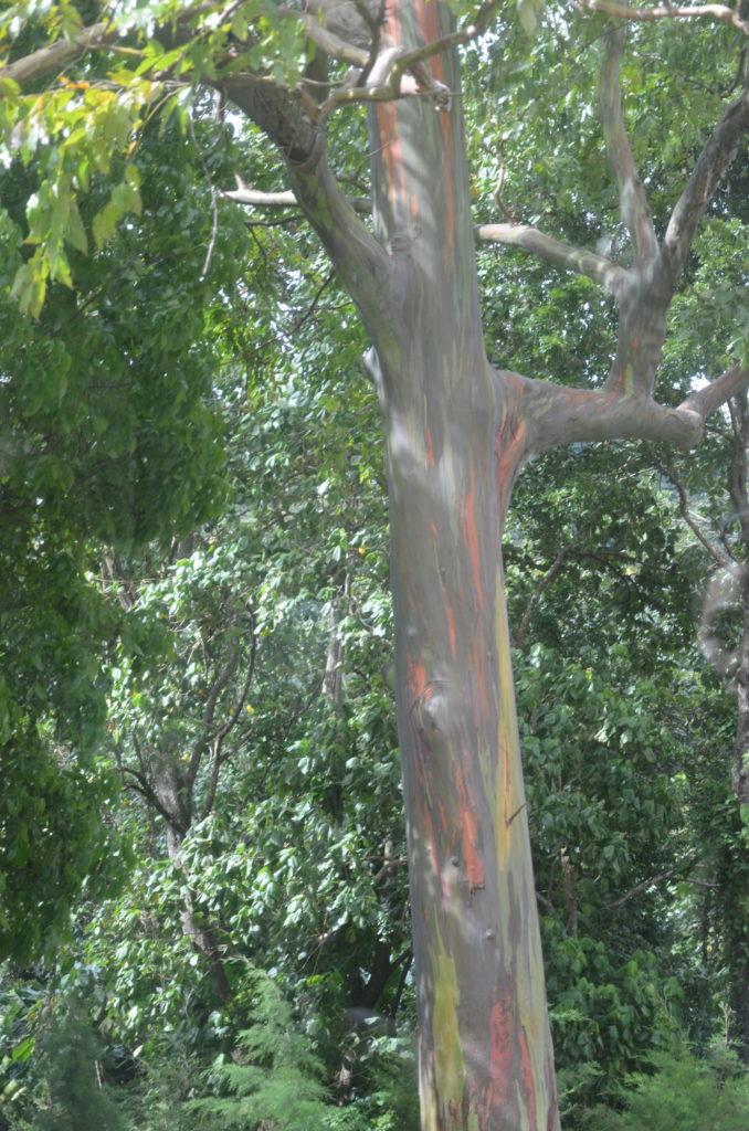 Tęczowe drzewo