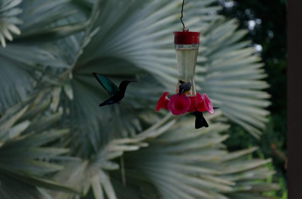 Kolibry w ogrodzie Balata