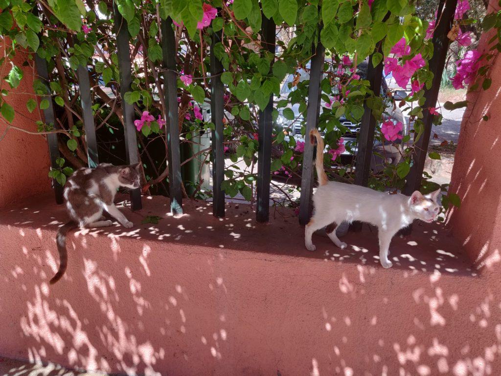 Koty w okolicy ogrodu Majorelle
