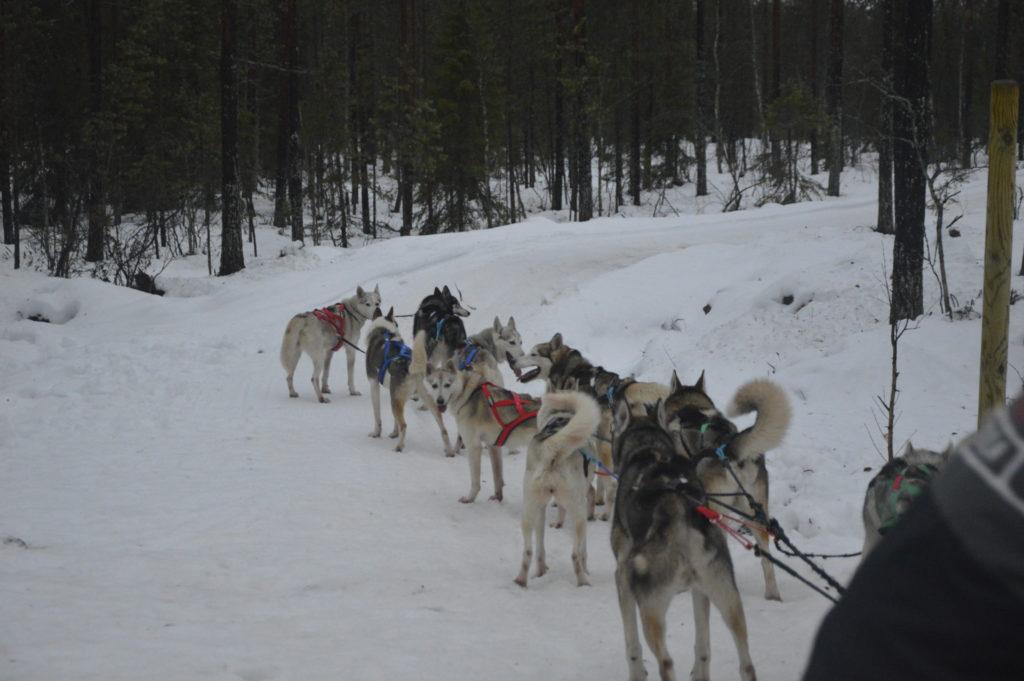 Husky Laponia
