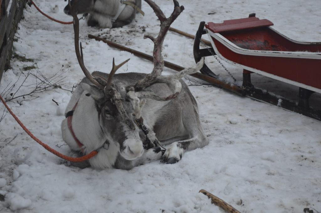 Renifery w Rovaniemi